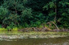 湖岸 结构树在水中 与绿色树的夏天风景在水、芦苇、湖和森林附近其他岸的 图库摄影