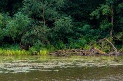 湖岸 结构树在水中 与绿色树的夏天风景在水、芦苇、湖和森林附近其他岸的 库存照片
