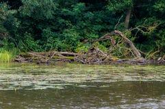 湖岸 结构树在水中 与绿色树的夏天风景在水、芦苇、湖和森林附近其他岸的 免版税库存图片