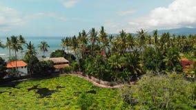 湖惊人空中寄生虫莲花的录影和领域在一个热带海岛巴厘岛,印度尼西亚上的 美好的空中场面  股票视频
