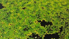 湖惊人空中寄生虫莲花的录影和领域在一个热带海岛巴厘岛,印度尼西亚上的 莲花美好的空中场面  股票录像