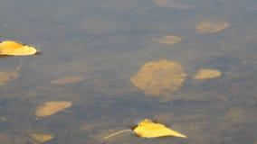 湖或河的表面上的秋叶 股票录像