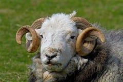 湖水地区公羊 免版税库存图片
