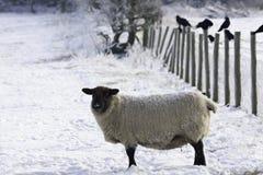 湖水地区绵羊在冬天 免版税库存图片