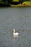 湖的储蓄图象有一只白色天鹅的 免版税库存照片