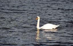 湖的储蓄图象有一只白色天鹅的 免版税库存图片
