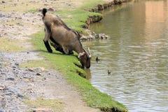 从湖的山羊饮用水 免版税库存图片