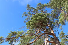 湖的岸的杉木森林 库存图片