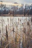 湖的岸的里德 免版税库存图片