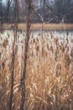 湖的岸的里德 图库摄影