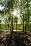 湖的桦树树丛 库存图片