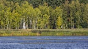 湖的桦树树丛 免版税库存图片