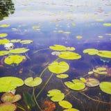 湖的Lilly 免版税库存照片