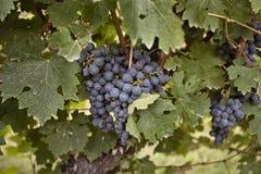 湖蓝色康科德紫葡萄的尼亚加拉 库存照片