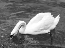 湖表面上的天鹅饮用水 图库摄影