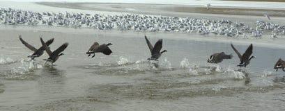 湖表面起飞 免版税库存照片