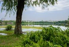 湖边杨柳和蕨与城市在背景中在晴朗的夏天 库存照片
