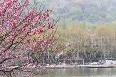 湖边桃子开花 库存照片