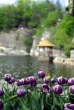 湖边紫色郁金香 库存照片