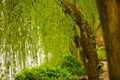 湖边结构树杨柳 免版税库存照片