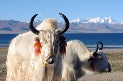 湖边西藏白色yaks 库存照片