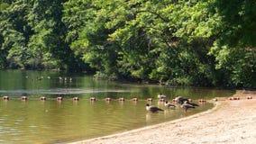 湖边鸭子 免版税图库摄影