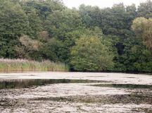 湖顶面肮脏的海藻老傻瓜场面与树夏天 免版税库存照片
