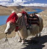 湖高原西藏西藏牦牛yamdrok 免版税库存图片