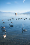 湖鸭子 免版税库存图片