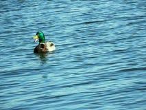 湖鹅 库存照片