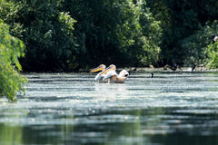 湖鹈鹕二 库存照片