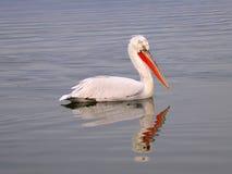 湖鹈鹕 图库摄影