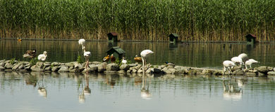 湖鹳鸭子 免版税库存照片