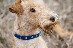 湖水地区走在领域的狗狗 库存图片