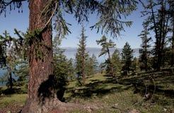 湖Hovsgol的陡峭的树木繁茂的岸 库存照片