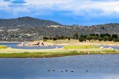 湖Jindabyne海滩在澳大利亚 在前景的六只鸭子 免版税库存图片
