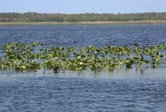 湖Kissimmee沼泽植被和开阔水域在中央小花 免版税库存照片
