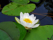 湖lilia水白色 图库摄影