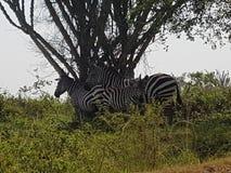 湖Mbruo乌干达非洲 免版税库存照片
