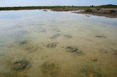 湖Thetis stromatolites 图库摄影