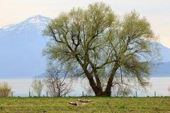 湖Zug的岸在春天 可汗, Zug,瑞士小行政区  免版税库存图片