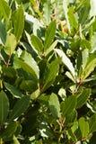 绿湾树叶子/射击月桂树/月桂属nobilis的图象 免版税库存照片