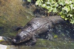 湾鳄niloticus 图库摄影