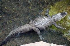 湾鳄niloticus 免版税库存图片