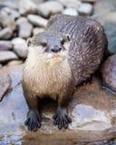 湿东方人小型抓了站立在岩石的河床的水獭 免版税库存照片