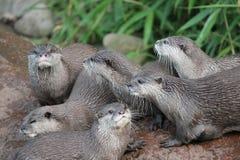 湿亚洲人小型抓的水獭 库存图片