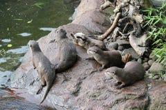 湿亚洲人小型抓的水獭 免版税库存照片