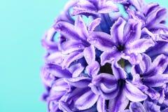 湿共同的荷兰庭院风信花(Hyacinthus Orientalis) 图库摄影