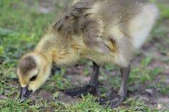 湿加拿大鹅戈斯林,黑雁canadensis最大值,在公园搜寻 库存照片