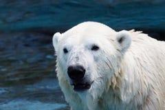 湿北极熊特写镜头 库存图片